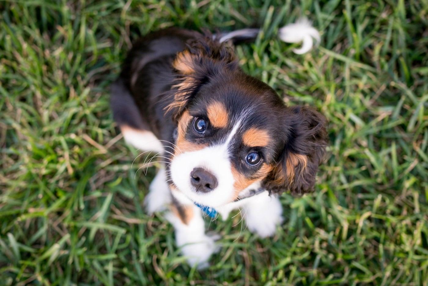 cavalier na trawie, pies podczas zabawy z właścicielem