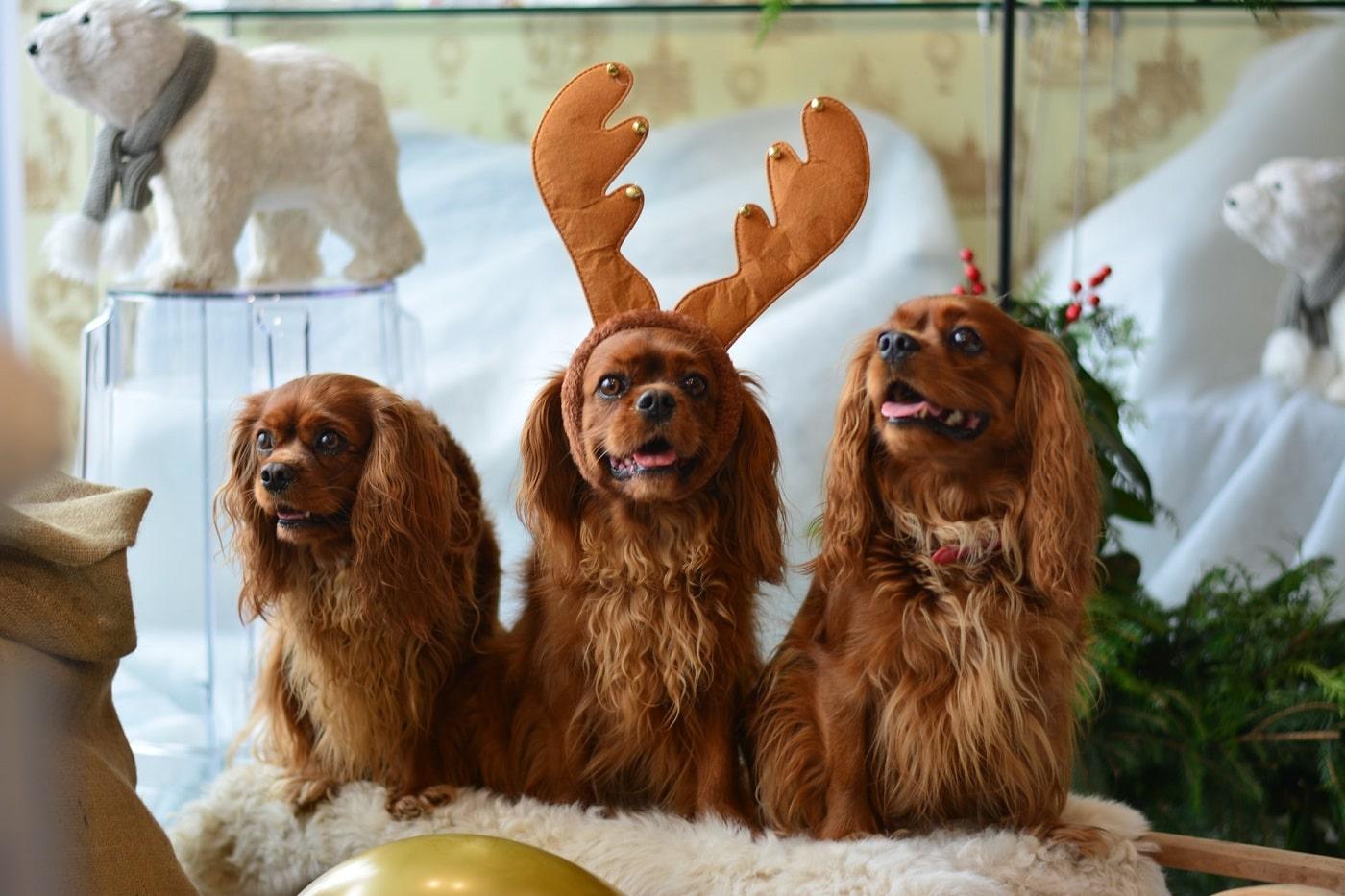 cavalier king charles spaniel, trzy psy pozują do zdjęcia, brązowe psy