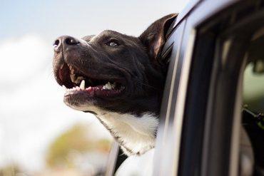 Pies w samochodzie – jak jeździć bezpiecznie z pupilem?